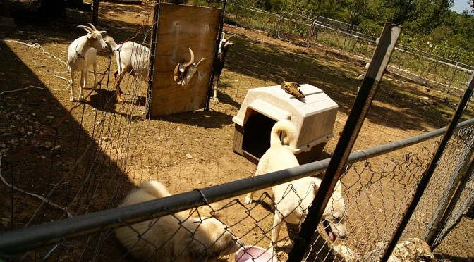 Build a goat-proof dog feeding area