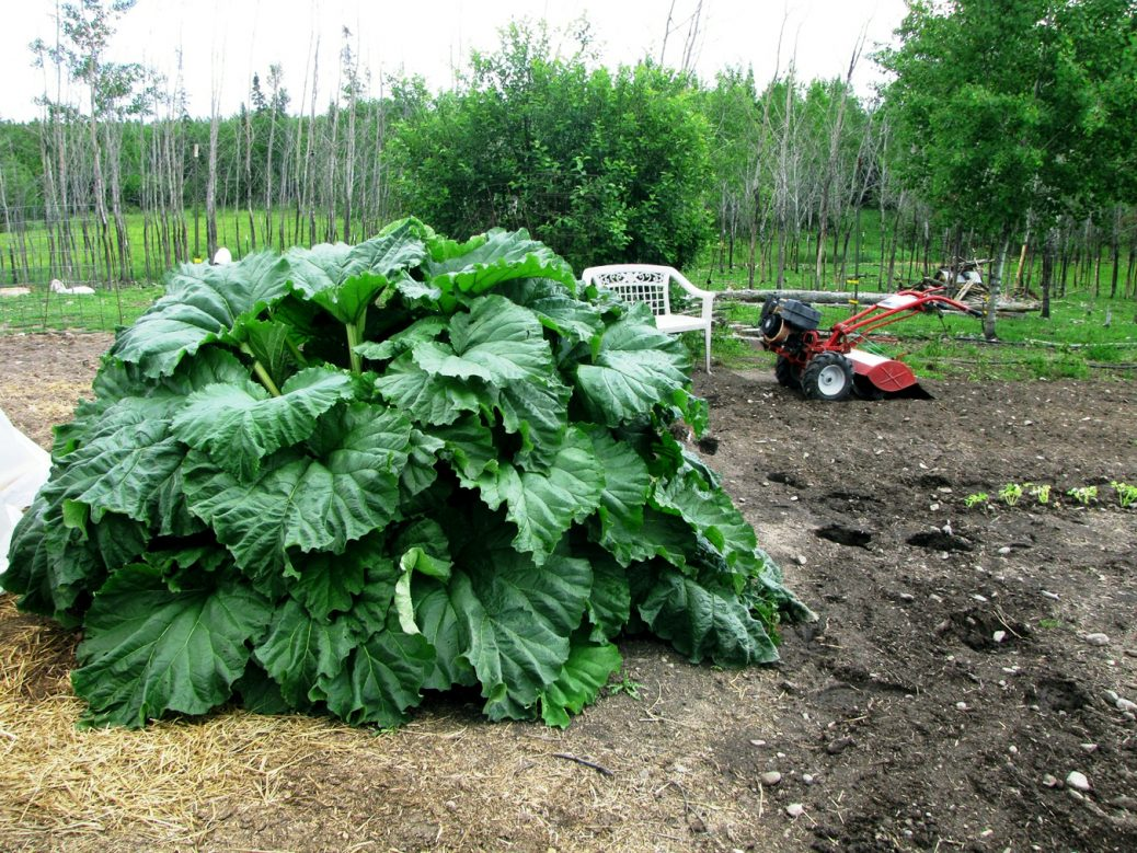 How to plant rhubarb in the fall - Rhubarb Grows Into A Large Attractive Plant From Which You Can Harvest Stalks For Many Tasty Recipes