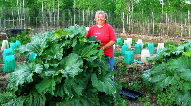 Rhubarb: The pioneers' pie plant