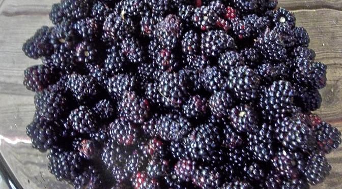 Harvesting wild blackberries