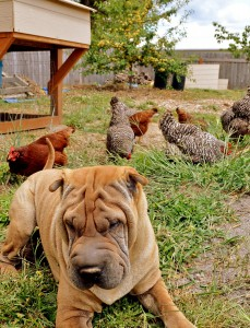 Dog-and-chickens