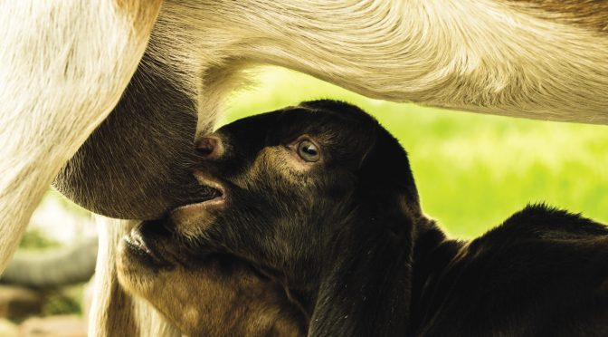 Off to a good start — newborn goats and the first days of life