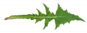 Dandelion-leaf2