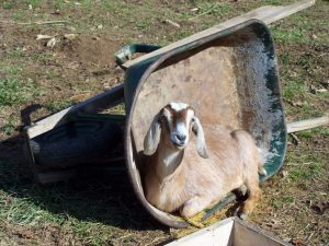 1-Goats - Trix in a wheelbarrow