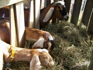 4-Goats in hay