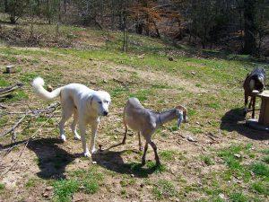 8-Livestock Guardian Dog