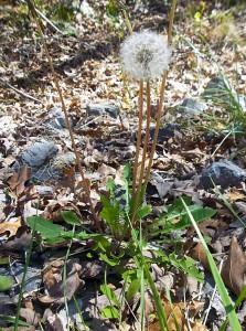 Spring herbs-Dandelion