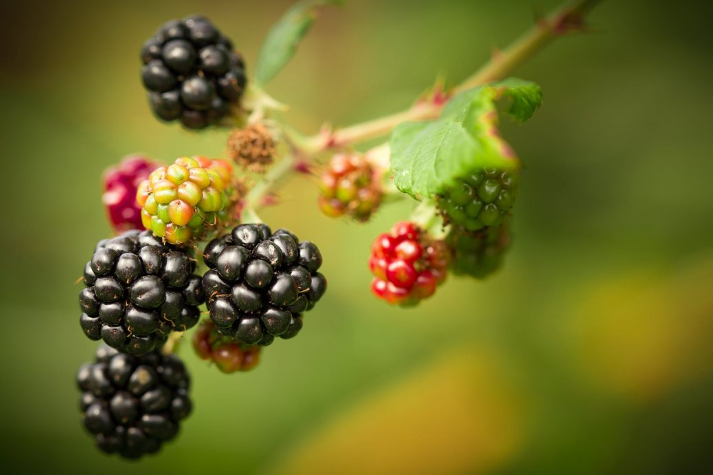 Wild Blackberries Pictures