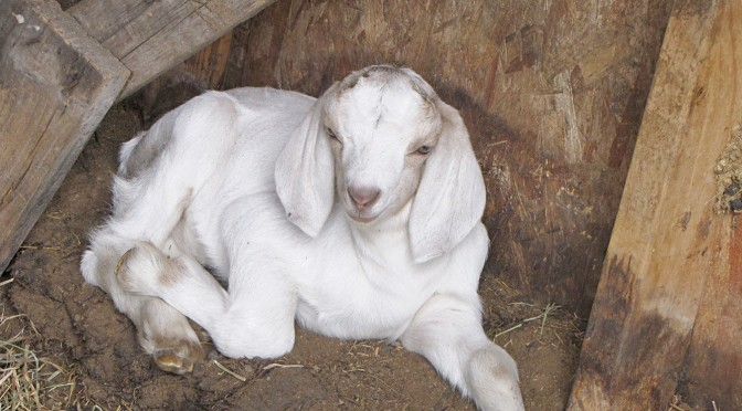 Why not add a dairy goat to your homestead?