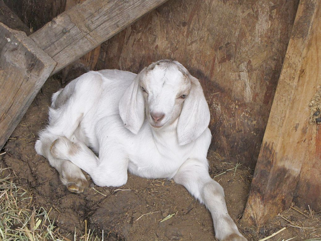 Why not add a dairy goat to your homestead? |