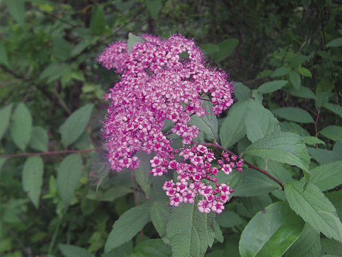 House_7Joe-Pye Weed_opt