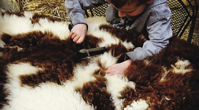 Tanning sheepskins