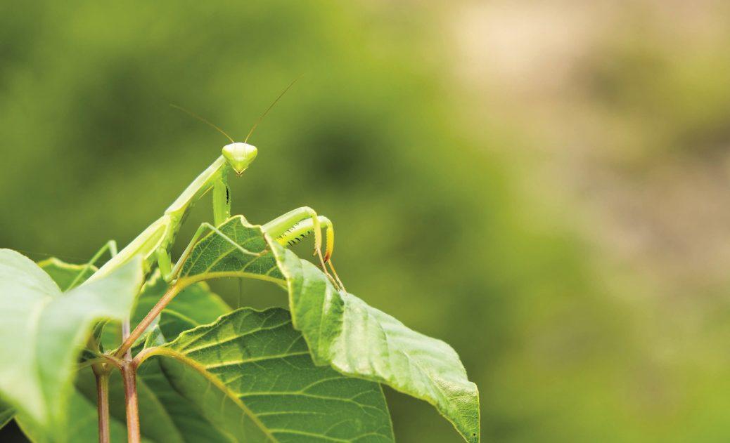 Amen To The Praying Mantis