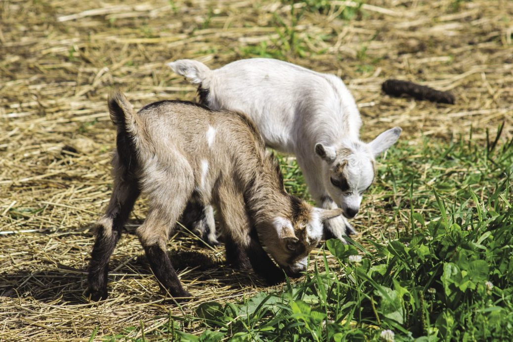 Newborn Goats and the First Days of Life — Off to a Good Start